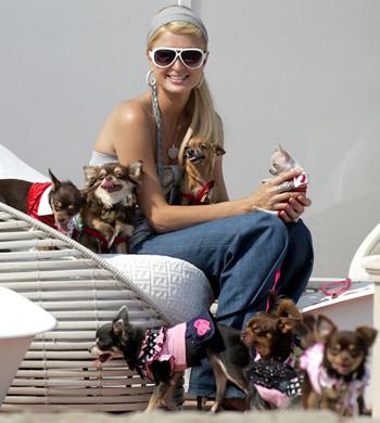 Paris Hilton samlar på hundar – har 17chihuahuas
