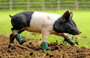 smutsig gris, dirty pig