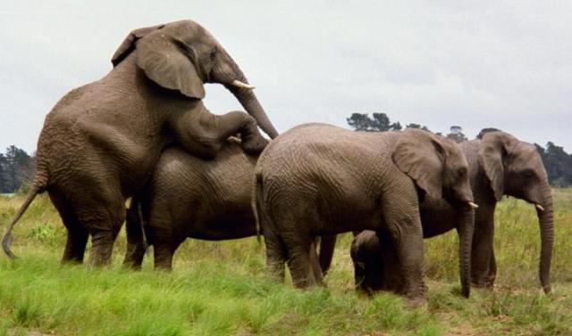 Elefanthanne förstörde semester...
