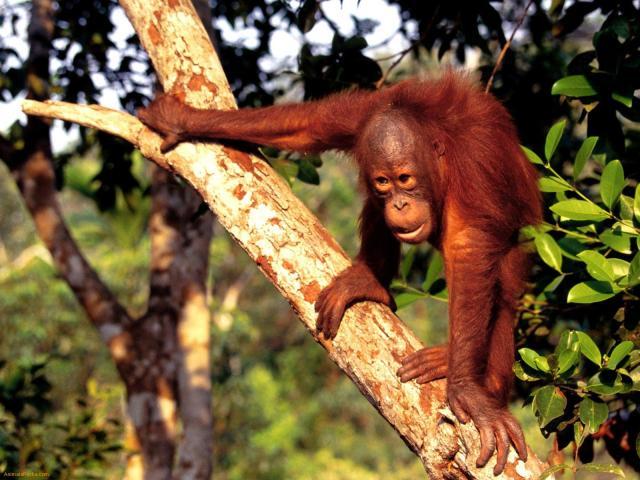 Orangutang på Borneo