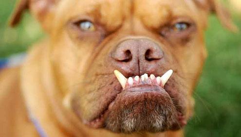 Pabst - världens fulaste hund